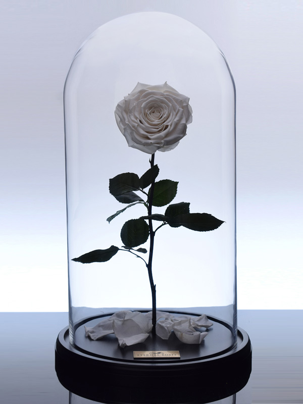 گل رز جاودان کلاسیک سفید