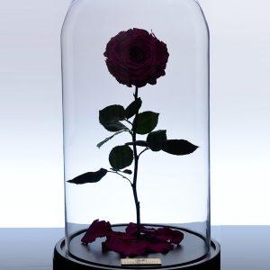 گل رز جاودان کلاسیک - صورتی تیره