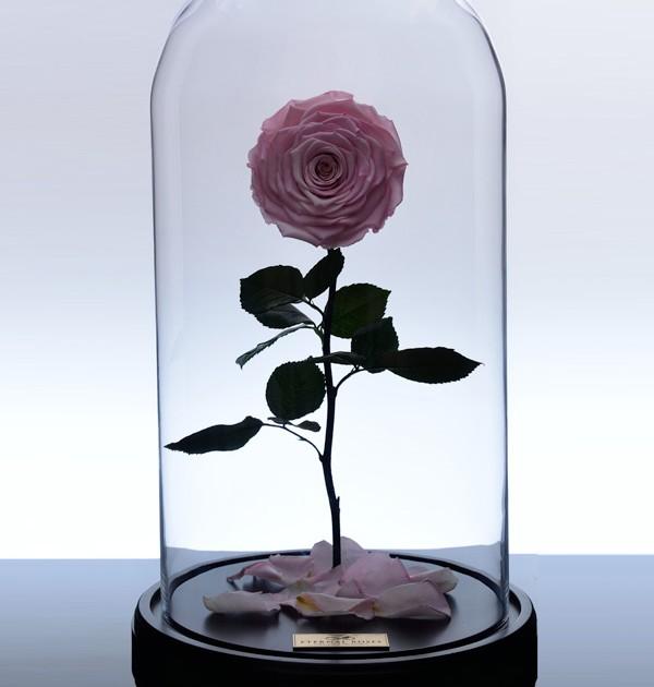 گل رز جاودان کلاسیک - صورتی