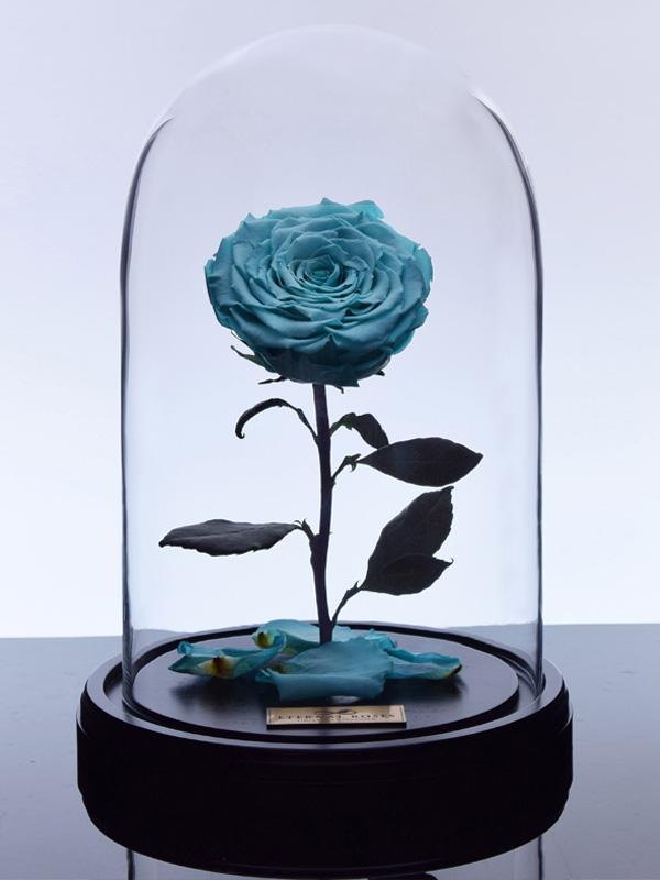 گل رز دیو و دلبر - آبی فیروزه ای
