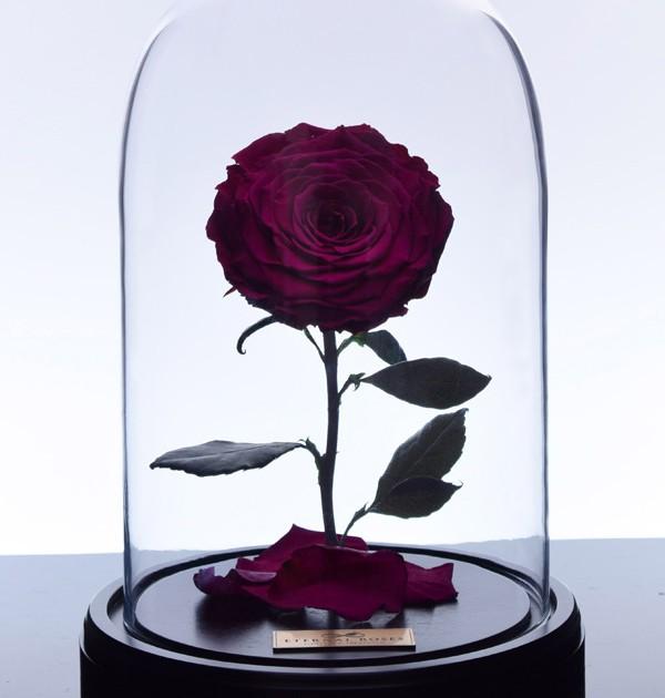 گل رز دیو و دلبر - بنفش