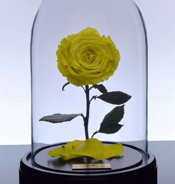 گل رز دیو و دلبر زرد