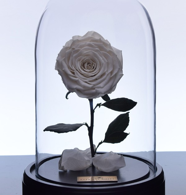 گل رز دیو و دلبر - سفید