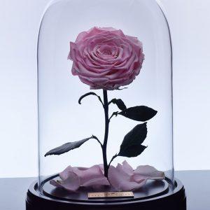گل رز دیو و دلبر - صورتی کم رنگ