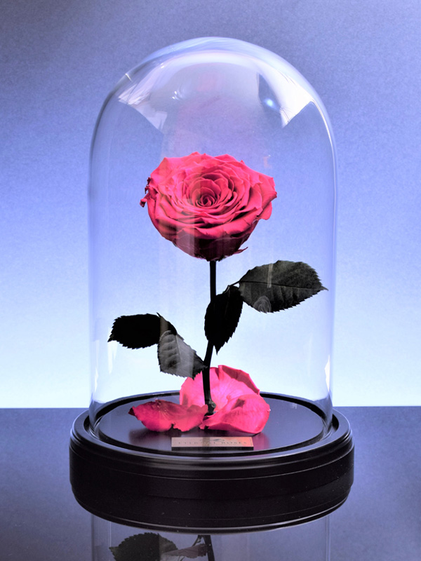 گل رز دیو و دلبر - صورتی
