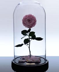 گل رز جاودان کلاسیک