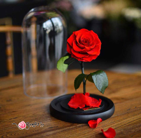 گل رز جاودان تک شاخه
